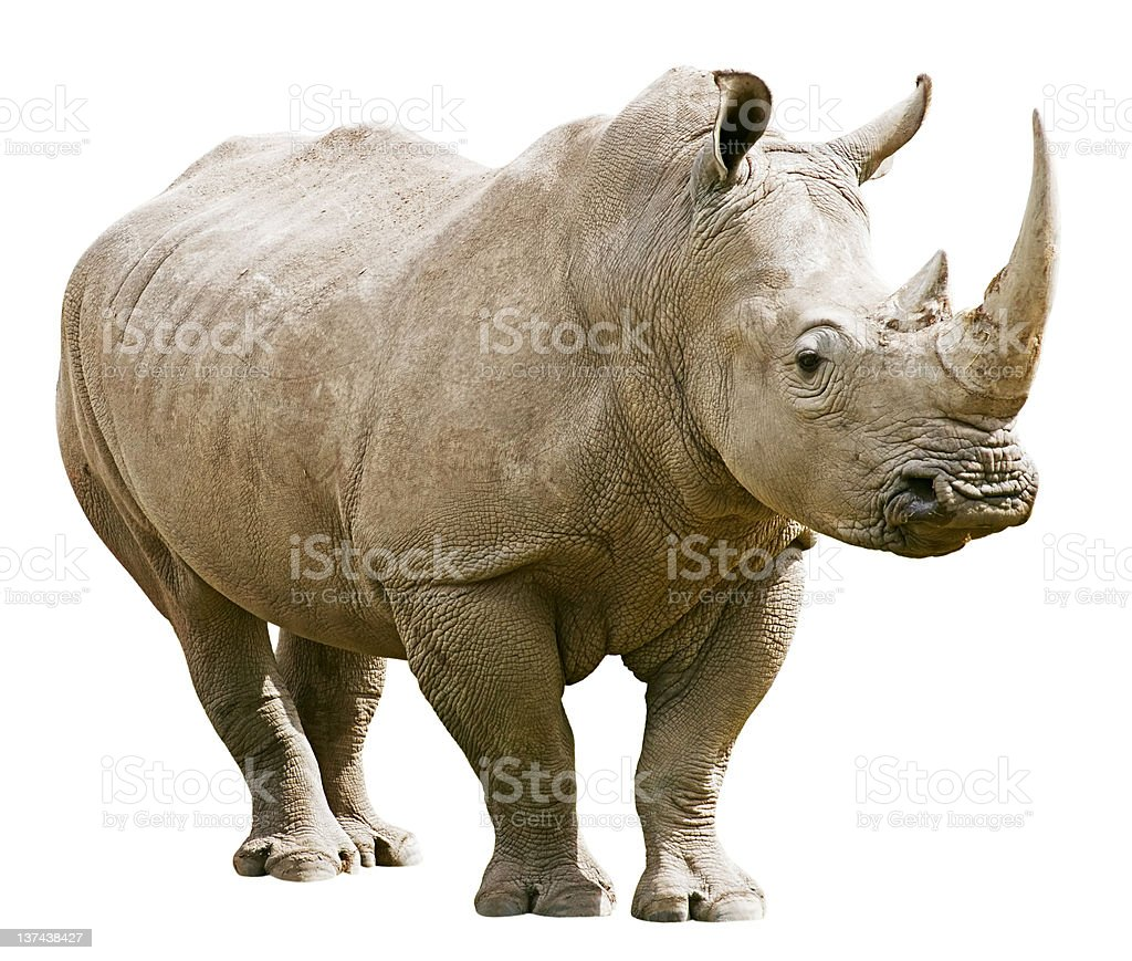 Rhinoceros isolated with clipping path on white background stock photo