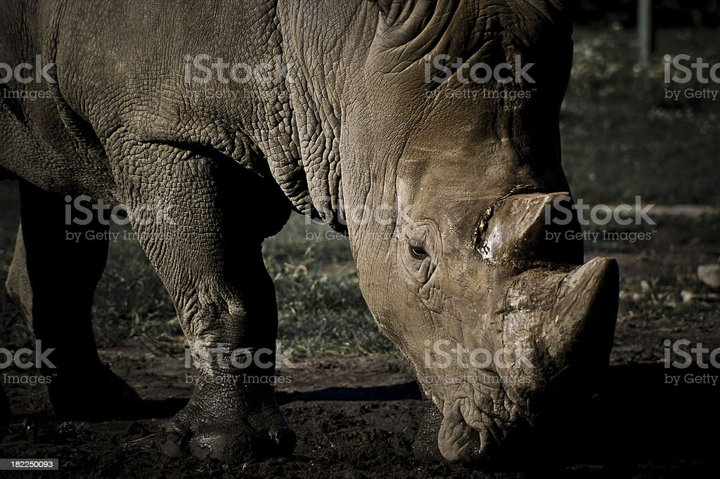 Rhinoceros on a field royalty-free stock photo