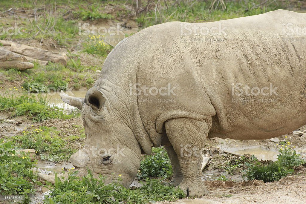 Rhinoceros royalty-free stock photo
