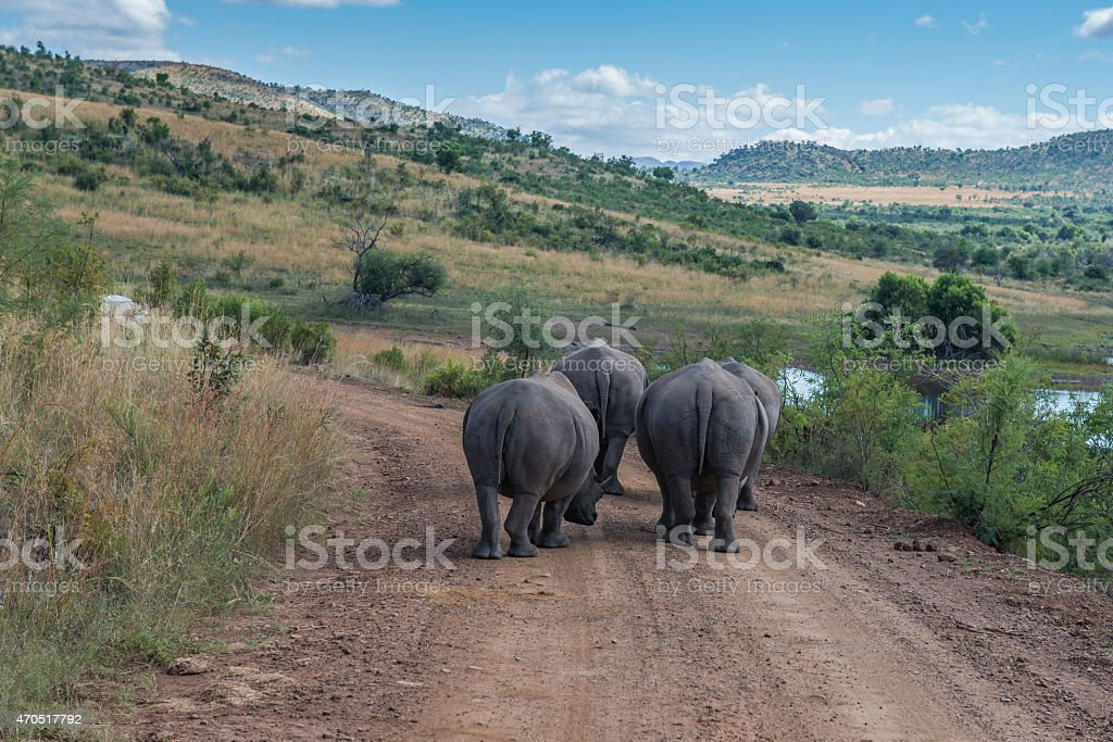 Rhinoceros. Pilanesberg national park. South Africa. March 29, 2015 stock photo