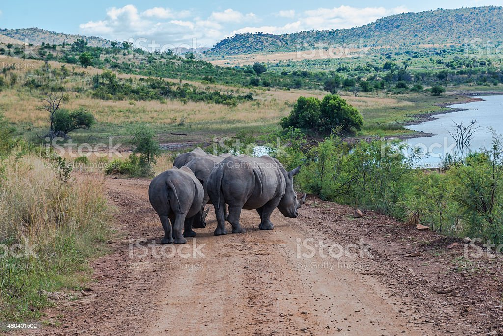 Rhinoceros, Pilanesberg national park. South Africa. March 29, 2015 stock photo