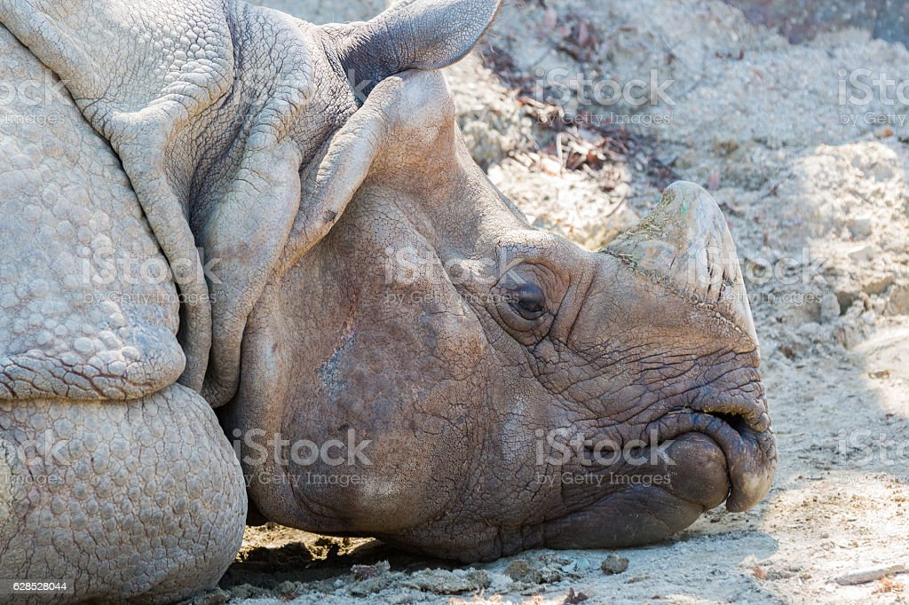 rhinoceros sleeping on dirty ground in forest. stock photo