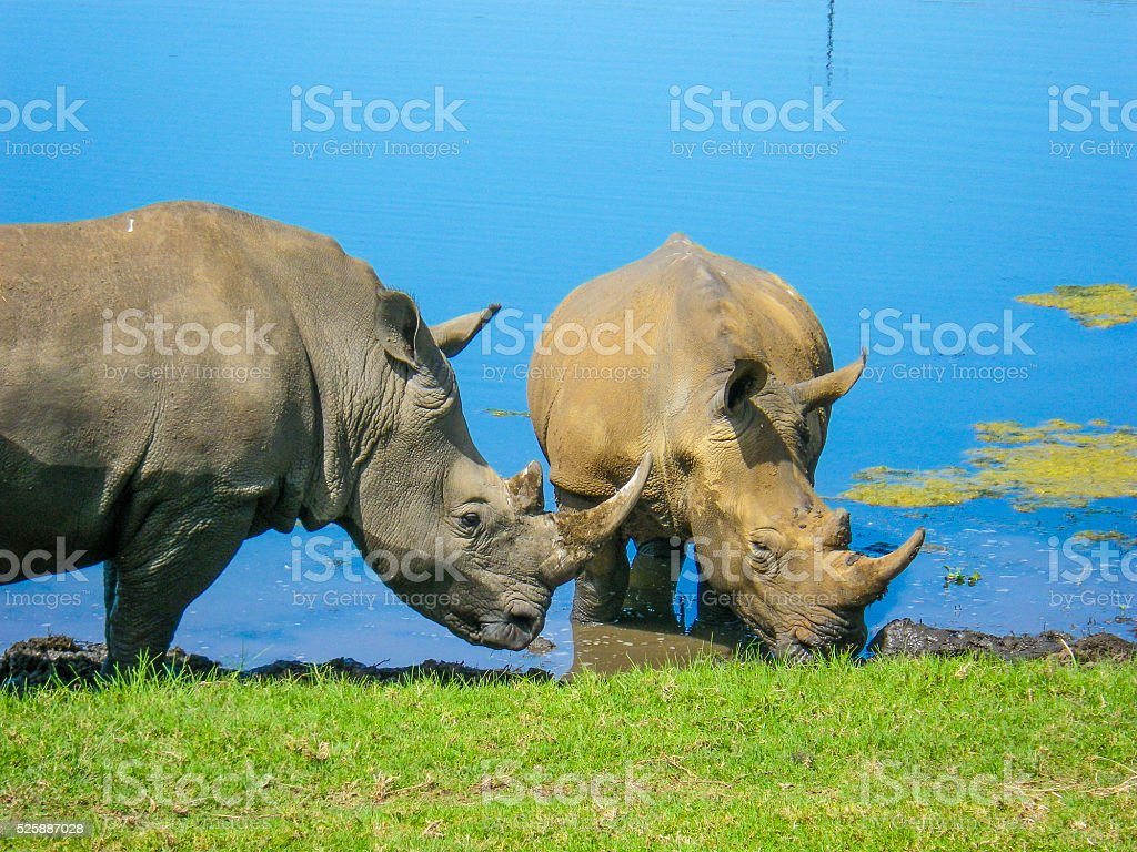 Rhinoceros Two together South Africa stock photo