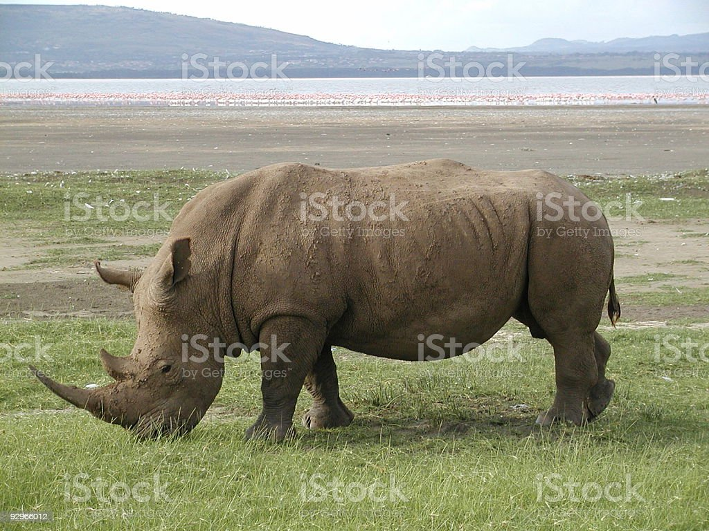 Rhinoceroses by lake royalty-free stock photo