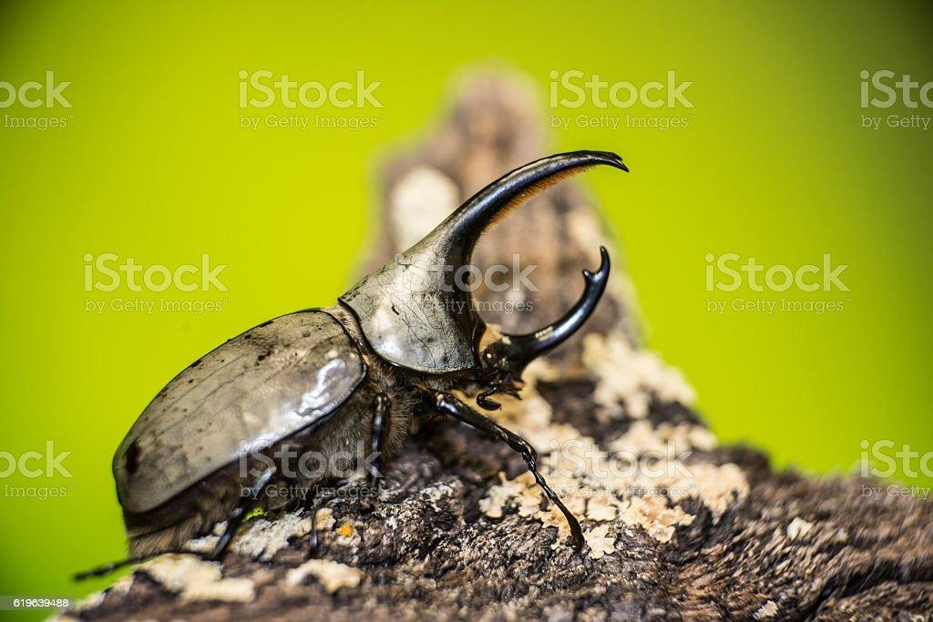 Rhinocerous beetle stock photo