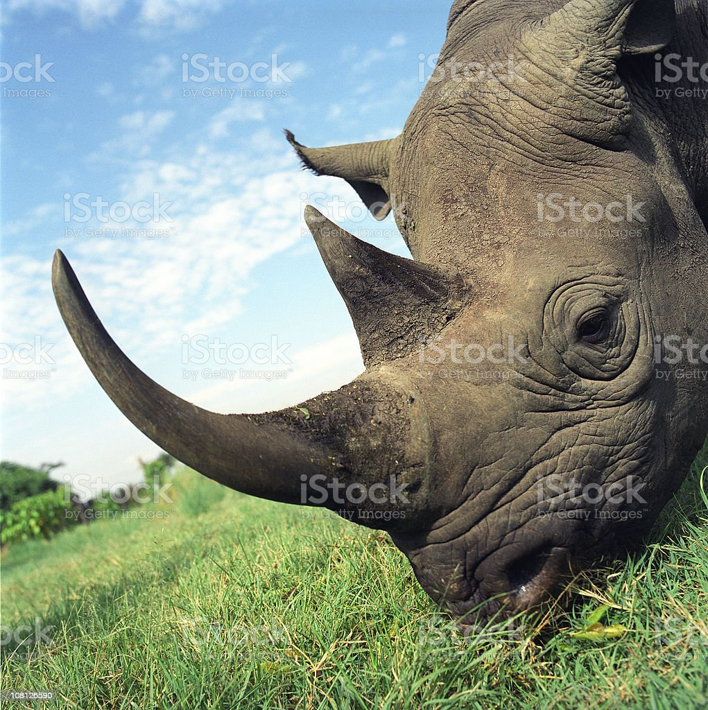 Rhinocerous Eating Grass in Africa stock photo
