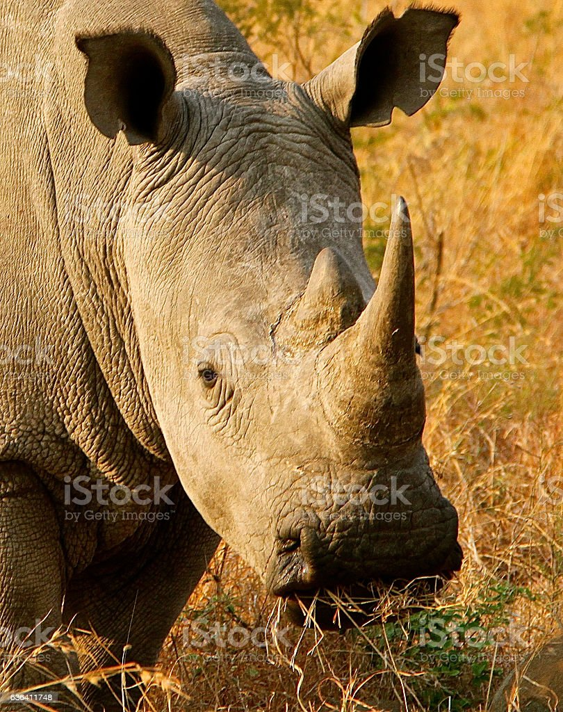 Rhinocerous stock photo