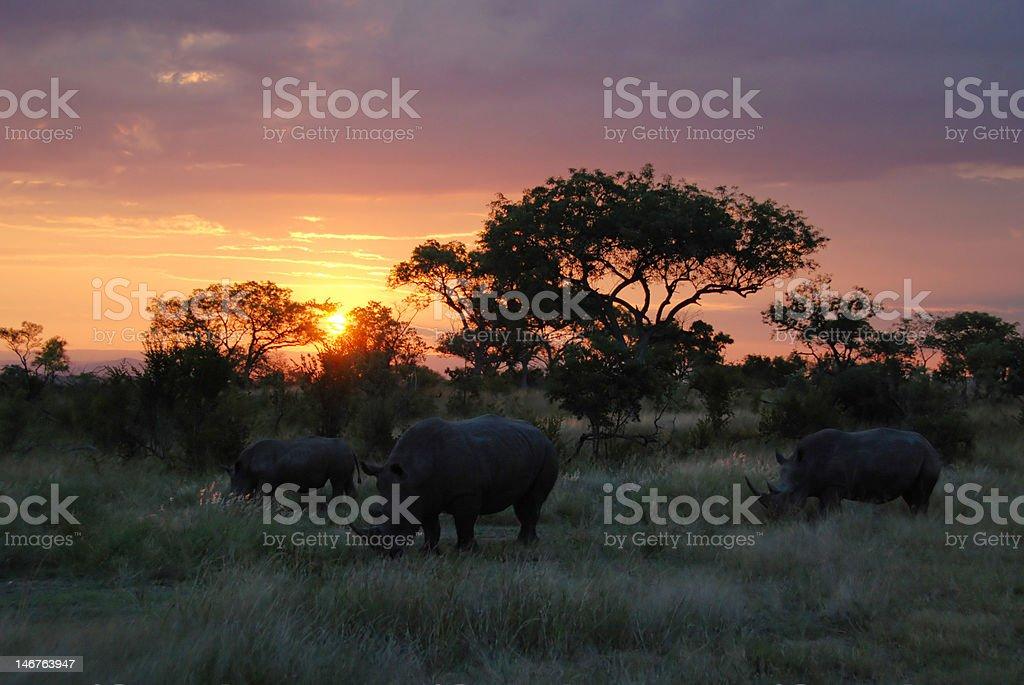 Rhinos grazing at sunset stock photo