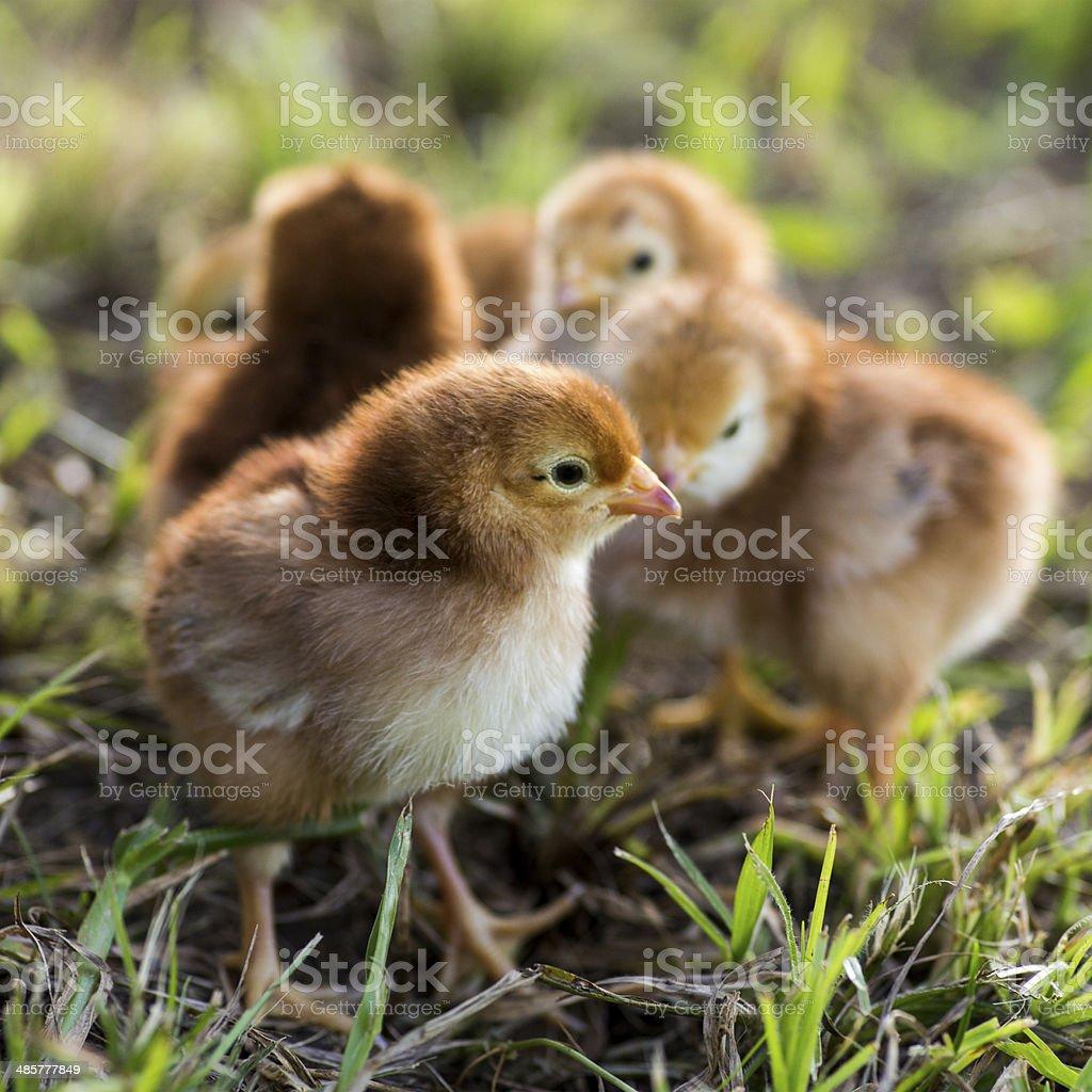 Rhode island red baby chicks royalty-free stock photo