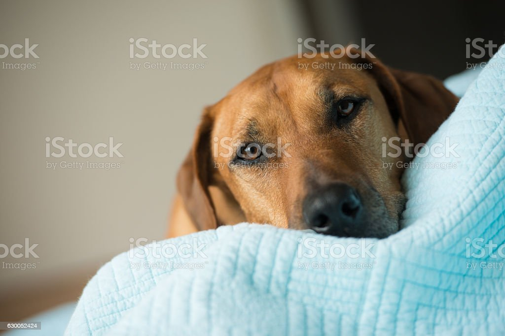 Rhodesian Ridge Back dog on bed stock photo