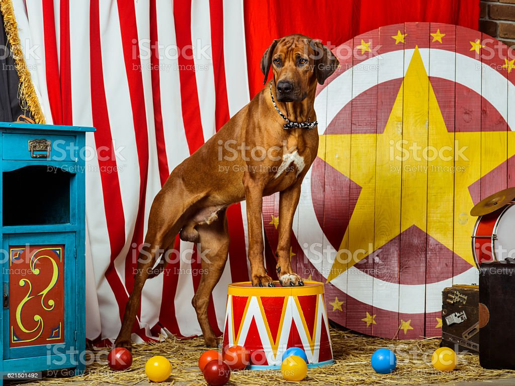 Rhodesian Ridgeback circus actor in front of a target stock photo