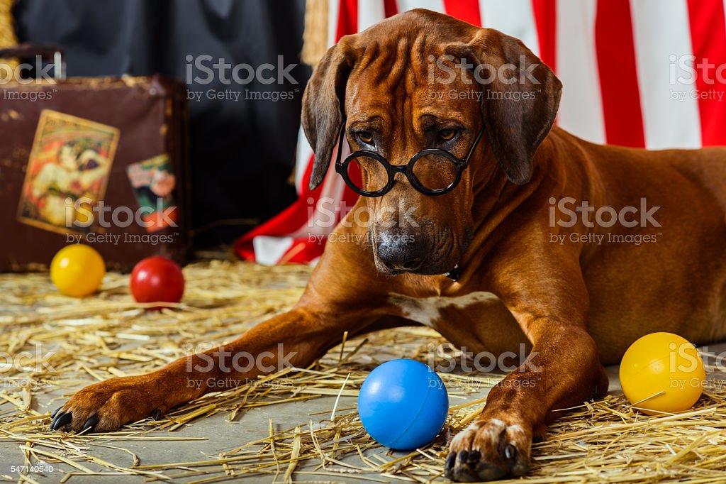 Rhodesian Ridgeback circus actor wearing eyeglasses stock photo