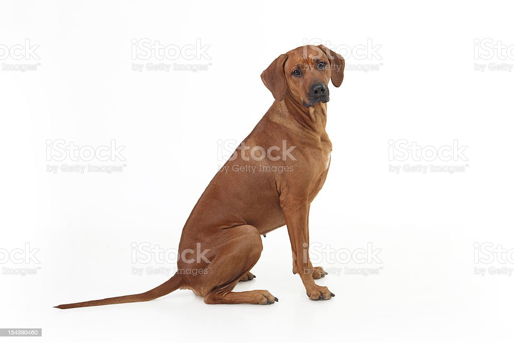 Rhodesian Ridgeback dog breed on a white background stock photo