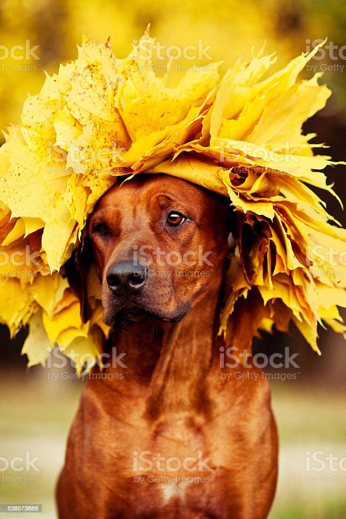 Rhodesian Ridgeback dog dressed in wreath of golden leaves stock photo