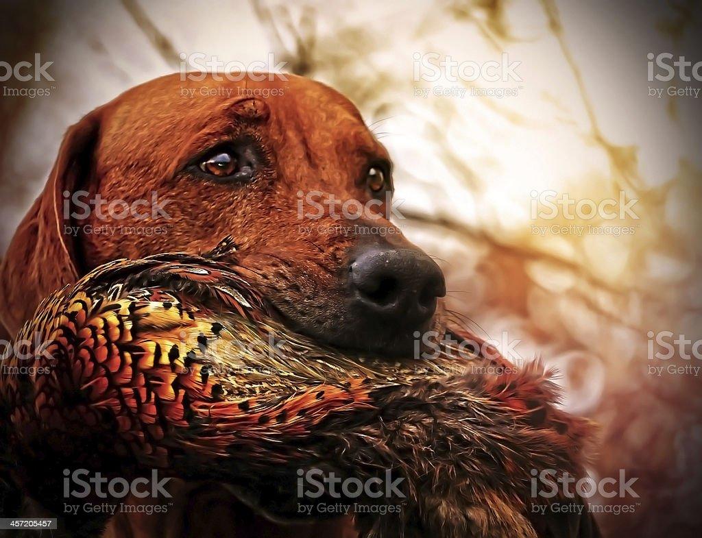 Rhodesian ridgeback dog stock photo