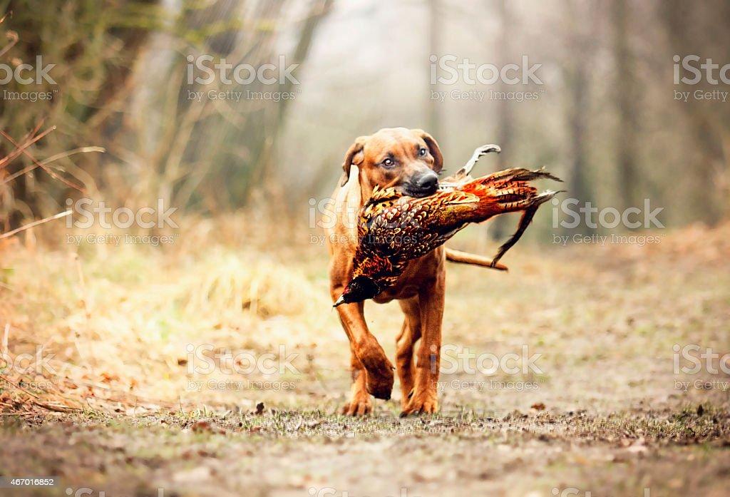 rhodesian ridgeback dog puppy running and hunting with pheasant bird stock photo