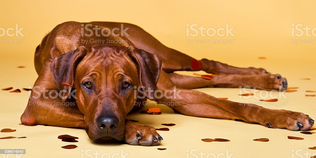 Rhodesian Ridgeback dog strewed with paper hearts confetti stock photo