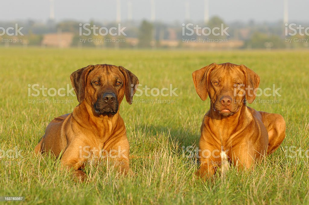 Rhodesian Ridgeback dogs stock photo