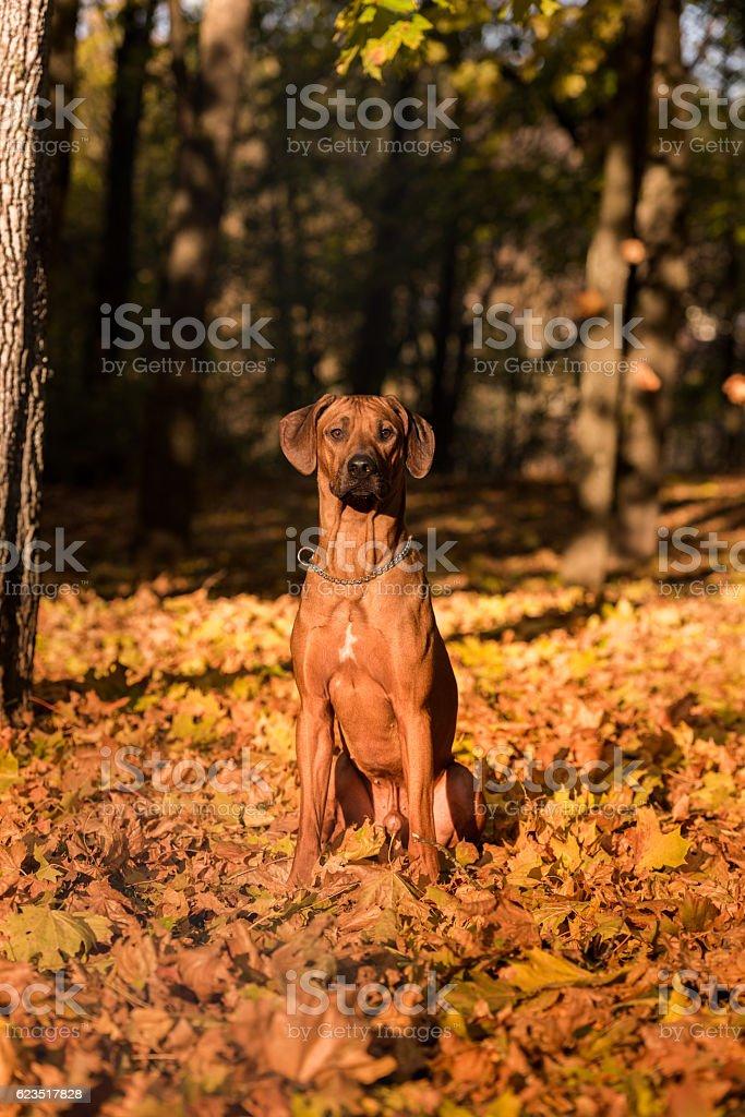 Rhodesian Ridgeback is Sitting on the Ground stock photo