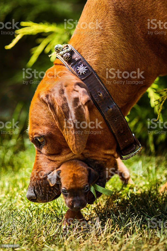 Rhodesian Ridgeback mother dog carry her puppy with mouth stock photo