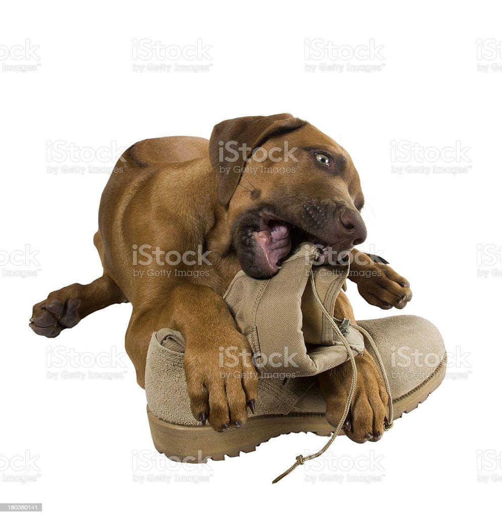 Rhodesian ridgeback puppy chewing on his master's army boots stock photo