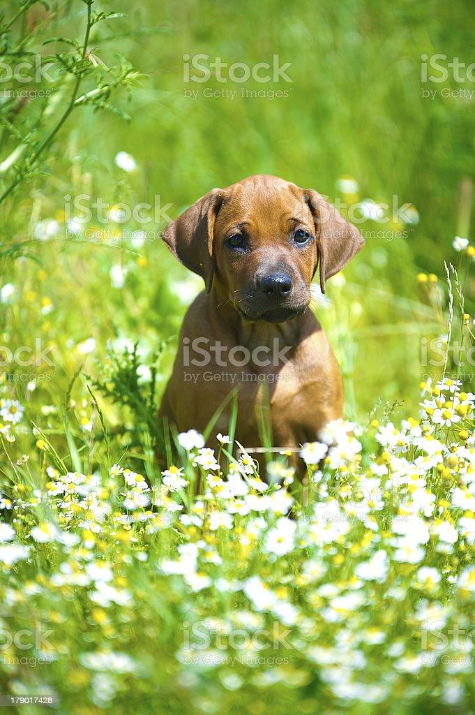 Rhodesian ridgeback puppy in a field stock photo