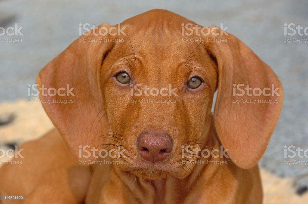 rhodesian ridgeback puppy royalty-free stock photo