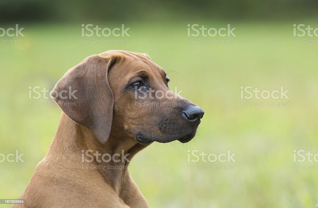 Rhodesian Ridgeback Puppy stock photo