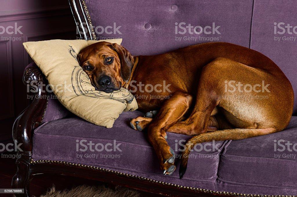 Rhodesian Ridgeback sleeping wiyh its head on a pillow stock photo