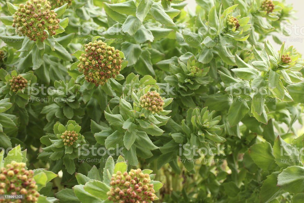 Rhodiola rosea royalty-free stock photo