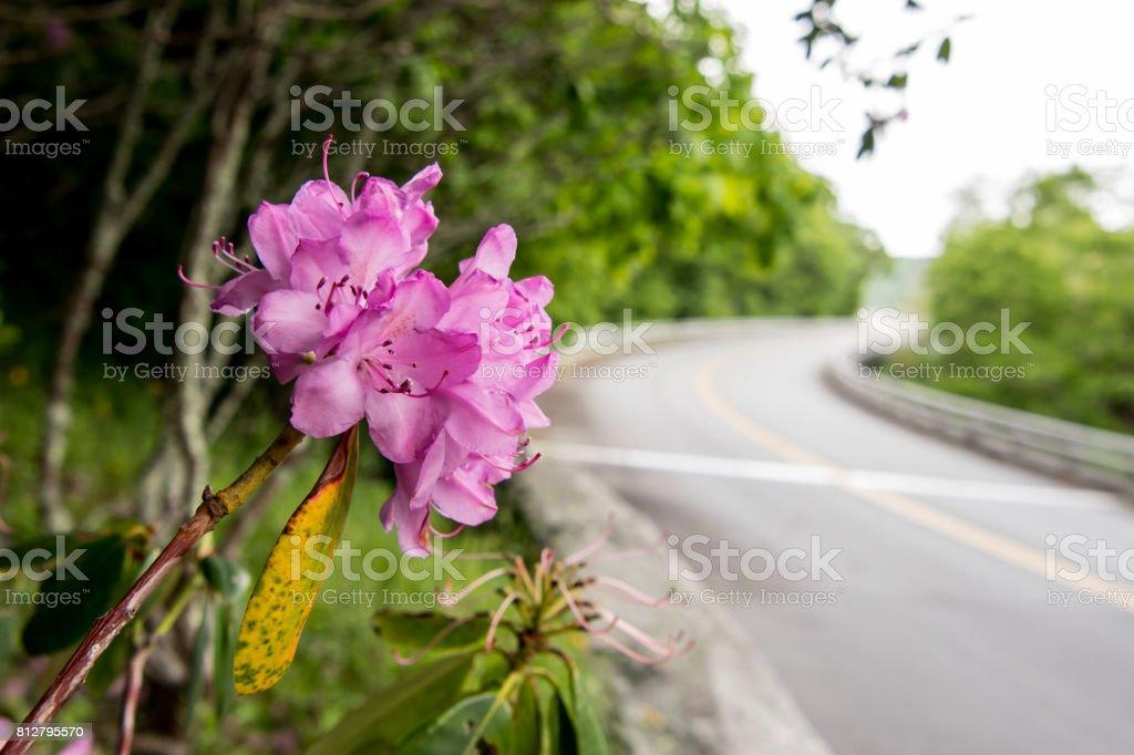 Rhododendron Along Side of Blue Ridge Parkway Bridge stock photo