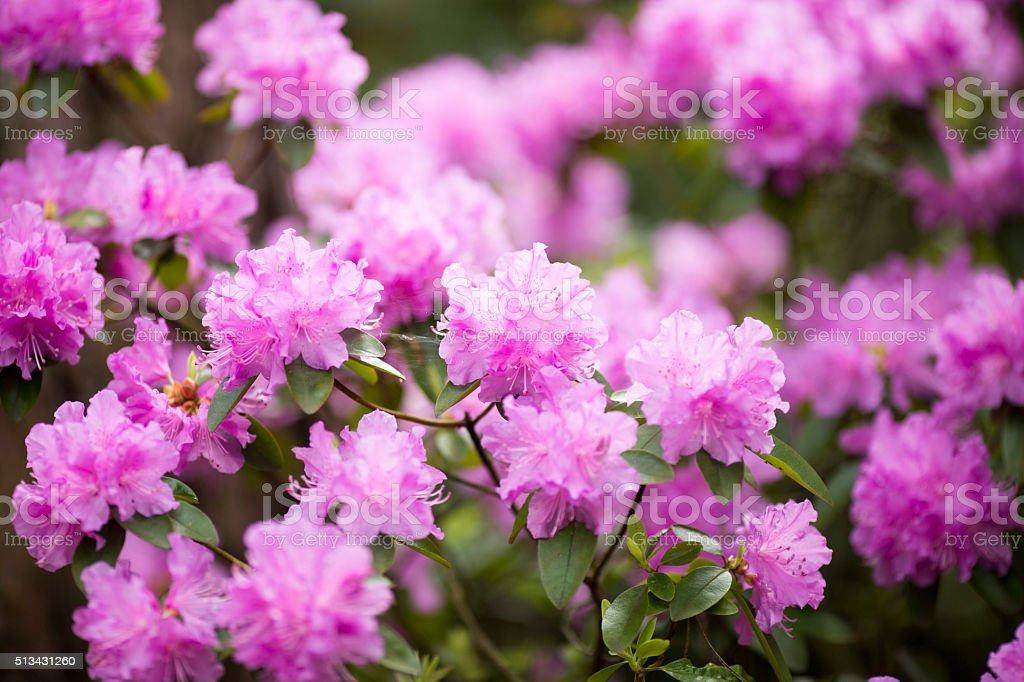 Rhododendron bloom in spring. Beautiful picture. stock photo