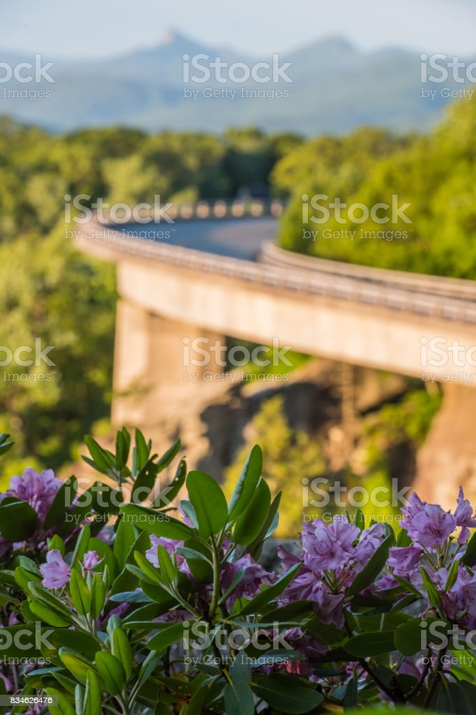 Rhododendron Bloom Near Linn Cove Viaduct stock photo