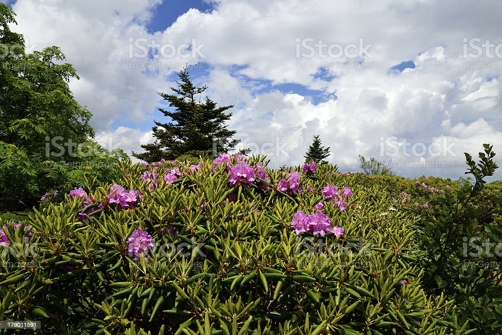 Rhododendron bloom royalty-free stock photo