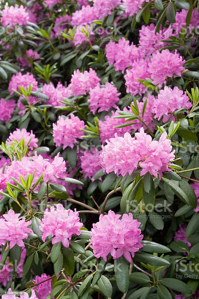 Rhododendron blooming. stock photo