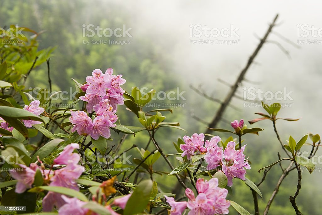 Rhododendron blossoms in Smoky Mountains near Mount LeConte stock photo