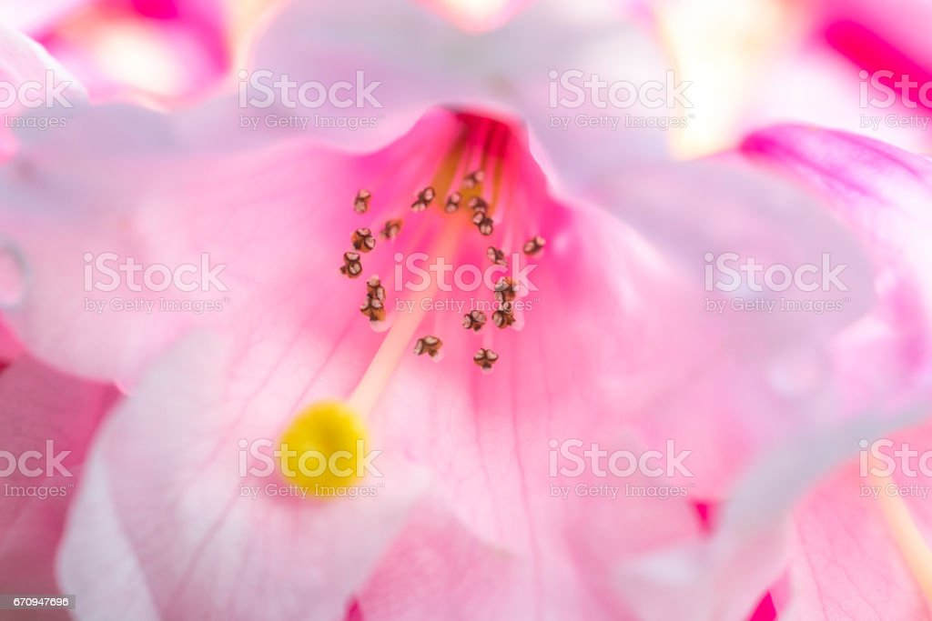 Rhododendron Calophytum stock photo