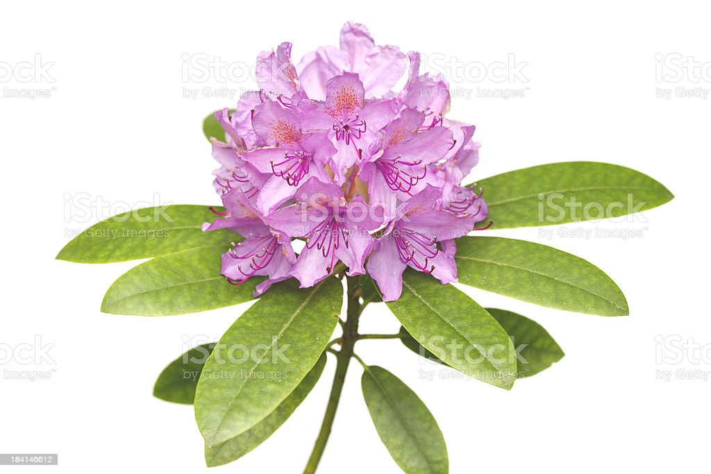 Rhododendron Catawbiense Grandiflorum stock photo