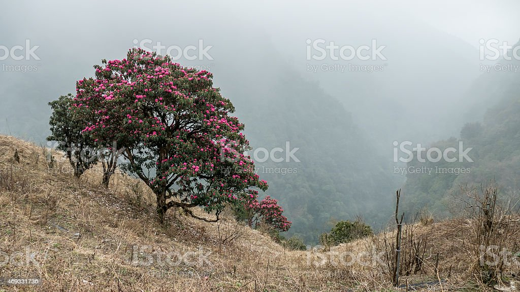 rhododendron couple stock photo