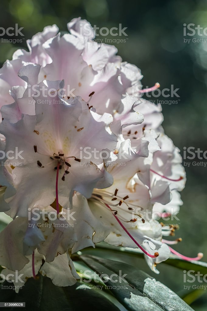 Rhododendron flower back lit stock photo