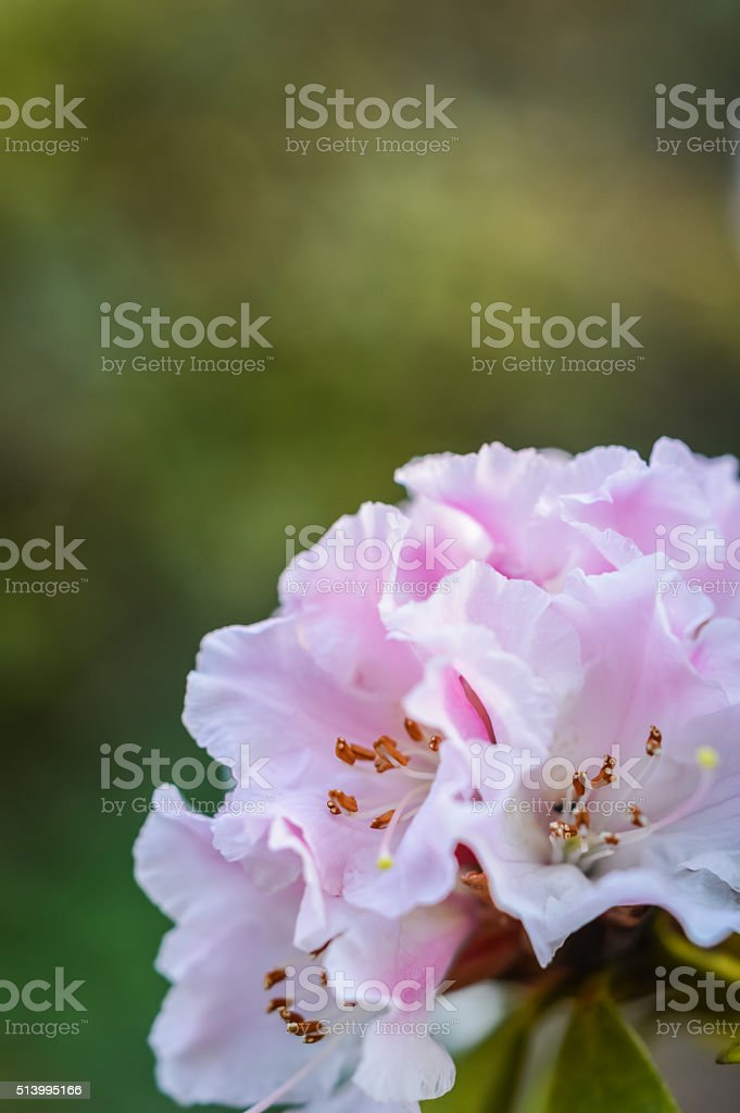 Rhododendron flower close up stock photo