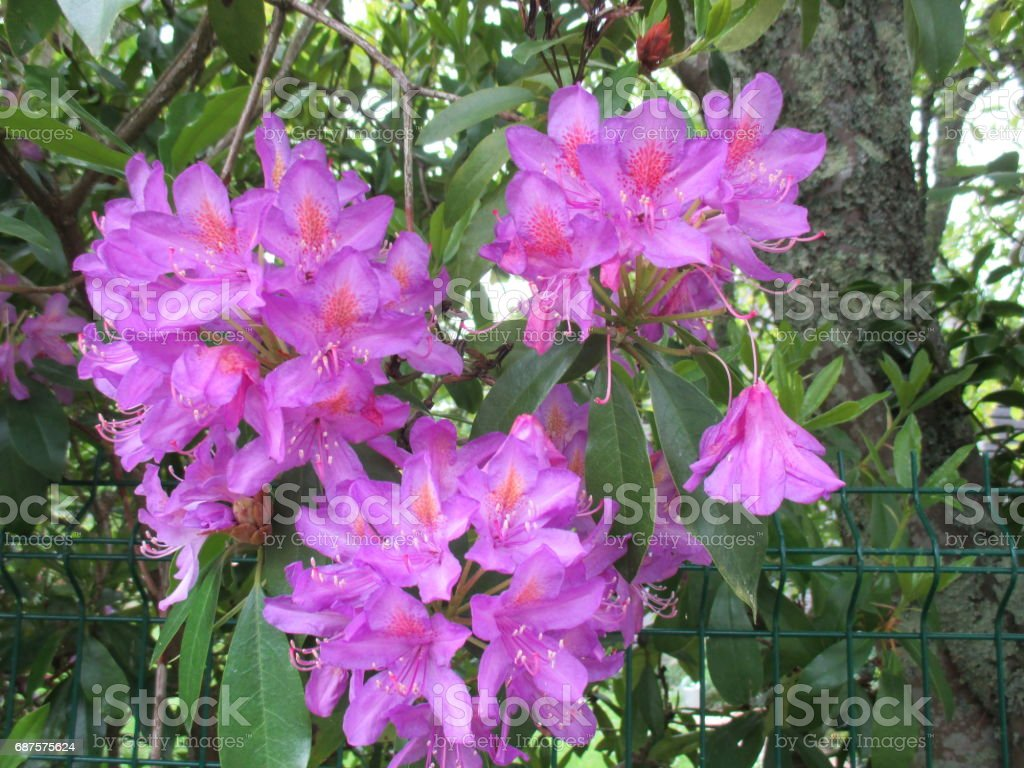 Rhododendron - Flower of Brittany stock photo