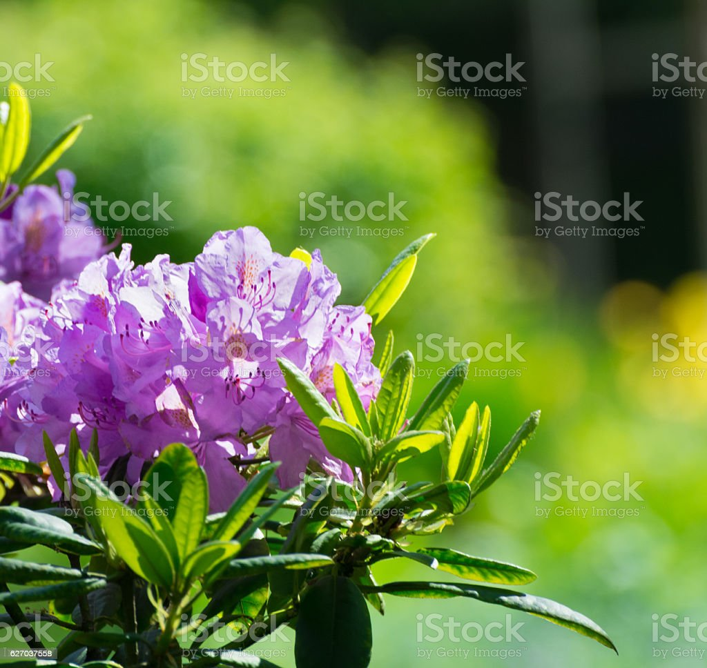 Rhododendron flower stock photo