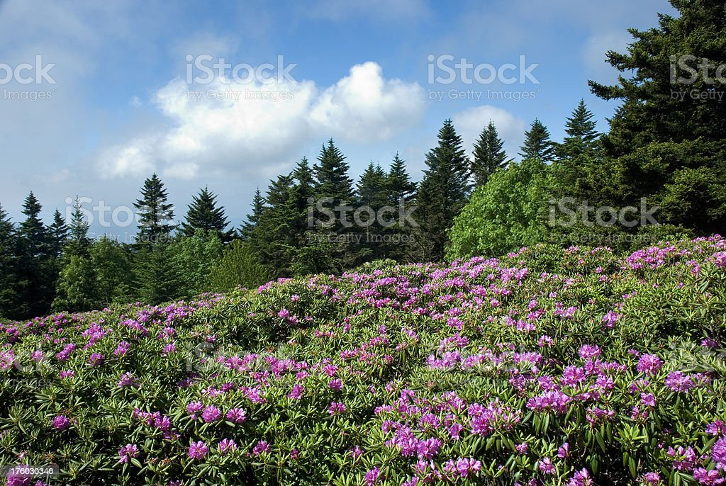 Rhododendron Flowers In Full Bloom, Roan Mountain Horizontal stock photo