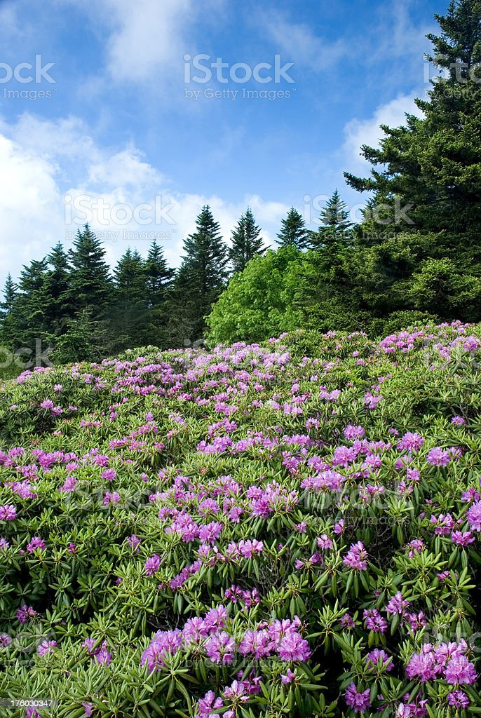 Rhododendron Flowers In Full Bloom, Roan Mountain stock photo