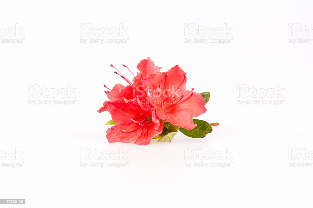 Rhododendron flowers vector art illustration