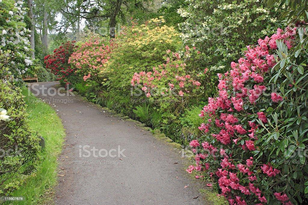 Rhododendron garden stock photo