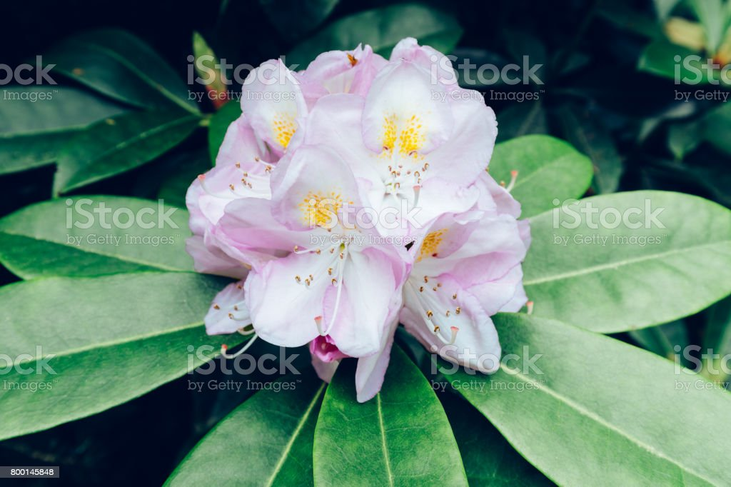 Rhododendron 'Gomer Waterer' stock photo