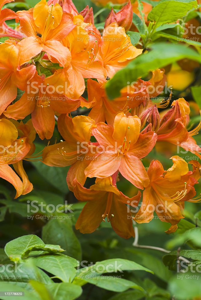 Rhododendron - I stock photo