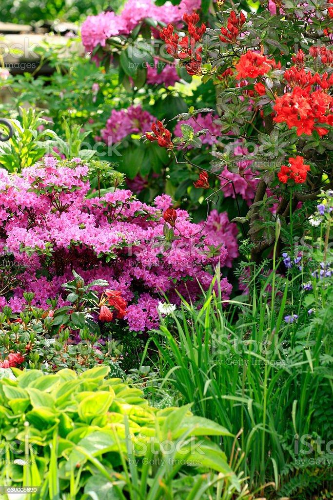 Rhododendron im Blumenbeet stock photo